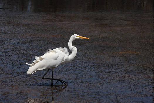 Great Egret Walking by Bob and Jan Shriner