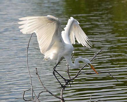Great Egret Wings by Diana Berkofsky