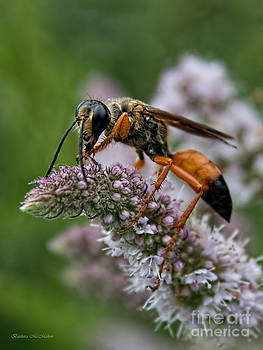 Barbara McMahon - Great Golden Digger Wasp