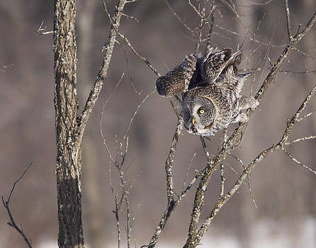 Great Gray Owl by Brian Magnier