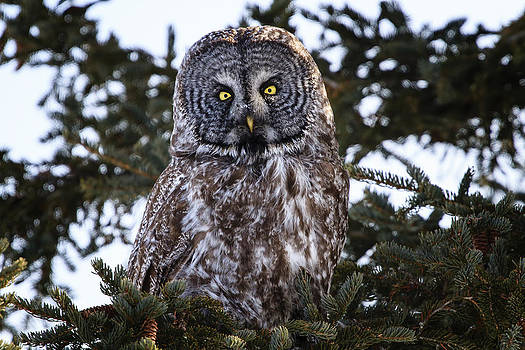 Gary Hall - Great Gray Owl
