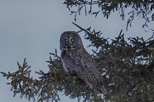 Gary Hall - Great Grey Owl 3