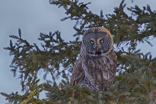Gary Hall - Great Grey Owl 4