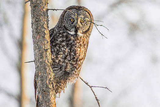 Great Grey Owl by Bart Deferme