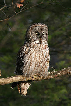 Great Grey Owl by John Rockwood