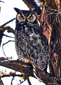 Great Horned Owl 2 by David Marr