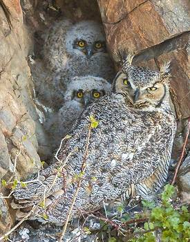 Great Horned Owl and Owlets by Perspective Imagery