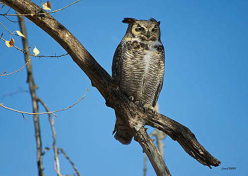 Great Horned Owl at Park by Stephen  Johnson