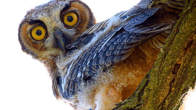 Great Horned Owl by Catherine Natalia  Roche