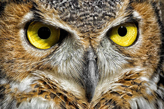 Great Horned Owl by Christopher Ciccone