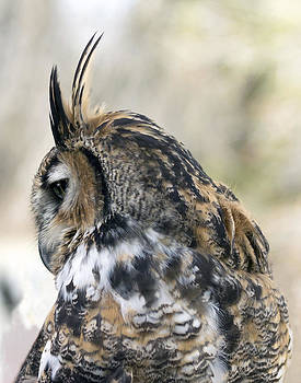 Great Horned Owl by Dana Moyer