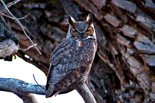 Eric Rundle - Great Horned Owl