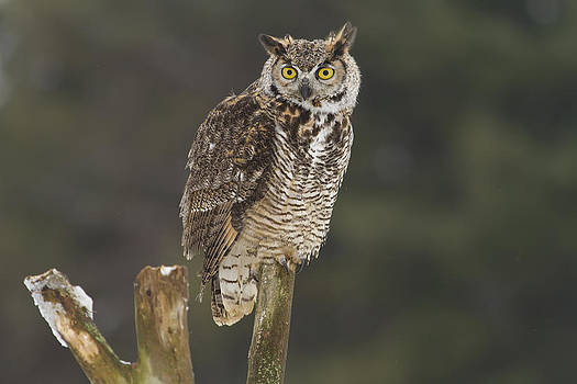 Great Horned Owl by Jackie Schuknecht