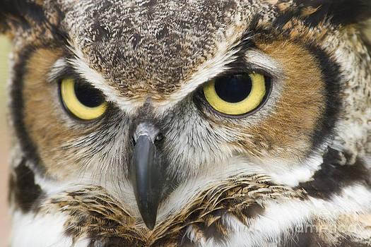 Jill Lang - Great Horned Owl