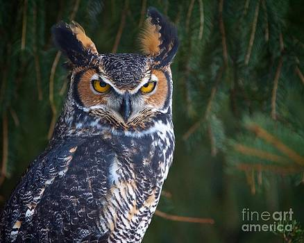 Great Horned Owl by Mike Mulick