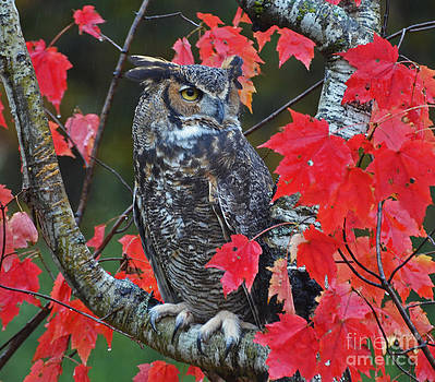 Great Horned Owl by Rodney Campbell