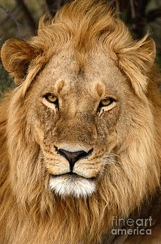 Great Mane Relaxed Lion by Tom Wurl