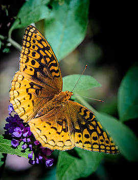Great Spangled Fritillary  by Jim DeLillo