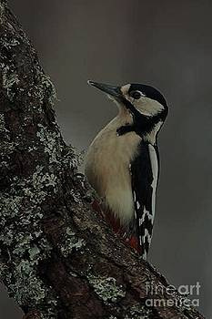 Great-Spotted Woodpecker by Diane Kurtz