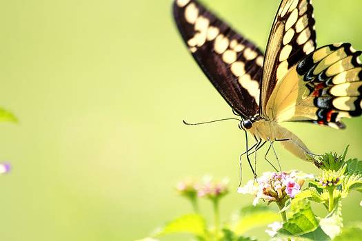 Great Swallowtail Butterfly II by Lorri Crossno