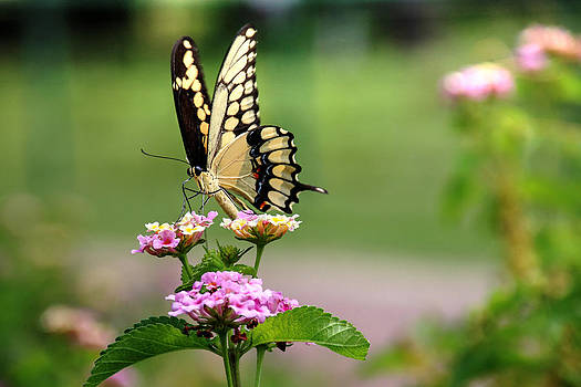 Great Swallowtail Butterfly by Lorri Crossno