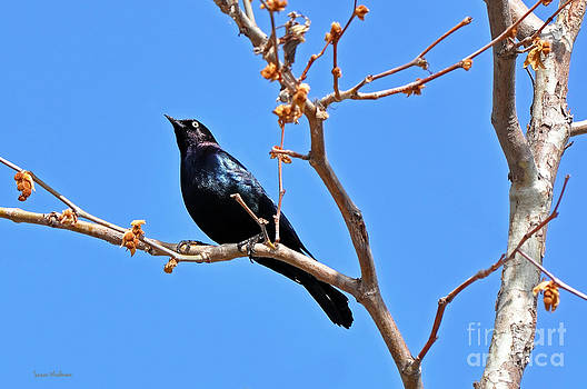 Susan Wiedmann - Great-Tailed Grackle on a Sunny Spring Day