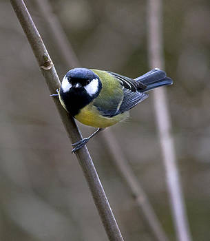 Great Tit by Simon West