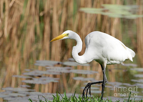 Sabrina L Ryan - Great White Egret by the River
