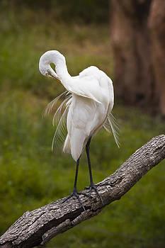 Great White Egret by Chad Davis