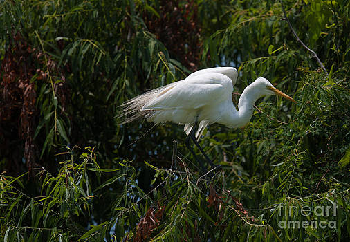 Dale Powell - Great White Egret