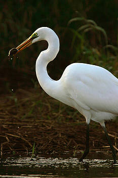 Great White Egret by Mark Russell