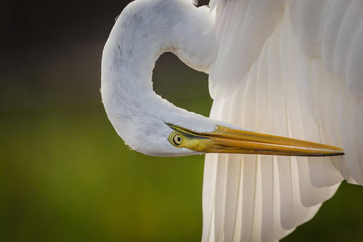 Great White Heron by Andrea  OConnell