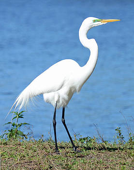 Great White Heron by Julie Cameron