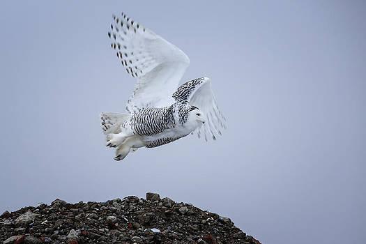 Gary Hall - Great White Owl