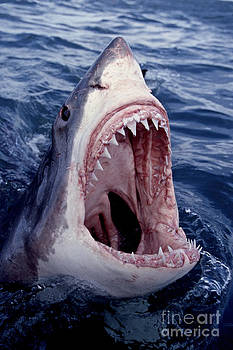 Great White Shark lunging out of the ocean with mouth open showing teeth by Brandon Cole