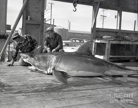 California Views Mr Pat Hathaway Archives - Great White shark Monterey Bay California 1953