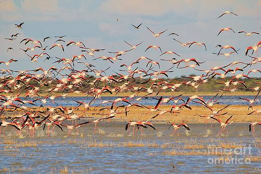 Greater Flamingo - Flying Colors by Hermanus A Alberts