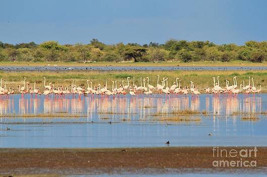 Greater Flamingo - Reflections of Pink by Hermanus A Alberts