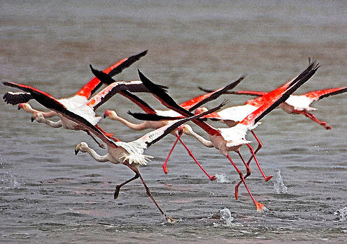 Dennis Cox - Greater flamingoes