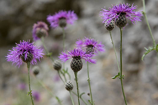 Greater Knapweed by Bob Kemp