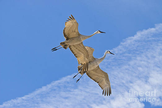 William H Mullins - Greater Sandhill Cranes In Flight