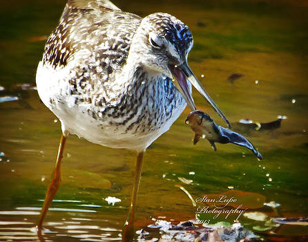 Greater Yellowlegs Takes a Meal by Stanley Lupo