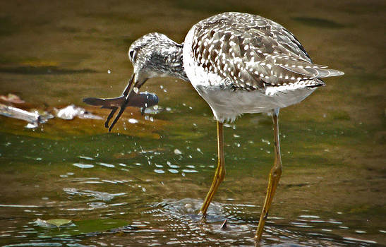 Greater Yellowlegs with Fish by Stanley Lupo