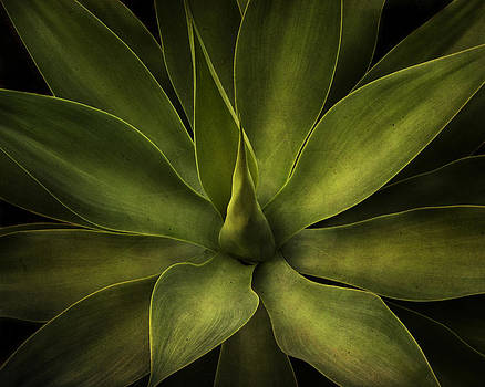 Green Agave by Irene Suchocki