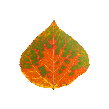 Green and Orange Aspen Leaf 1 by Agustin Goba