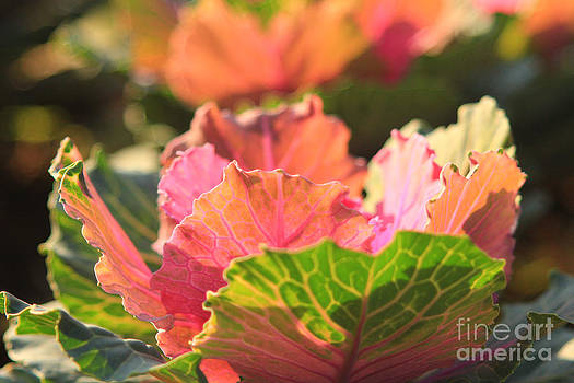 Beverly Claire Kaiya - Green and Pink Ornamental Cabbage in Afternoon Sunlight