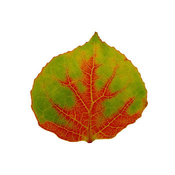 Green and Red Aspen Leaf 2 by Agustin Goba