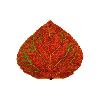 Green and Red Aspen Leaf 3 by Agustin Goba