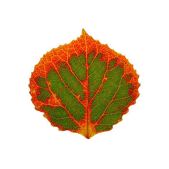 Green and Red Aspen Leaf 4 by Agustin Goba