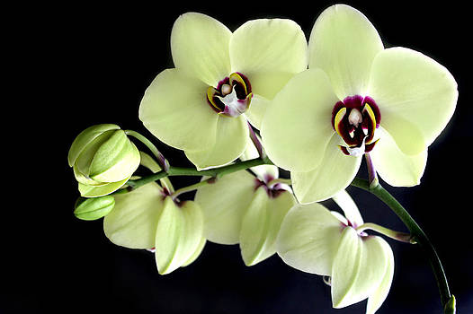 Green and Wine hybrid Phalaenopsis Orchid by William Tanneberger